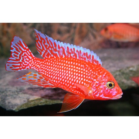 Lista Cíclidos Malawi (Aulonocaras, Haplochromis...)