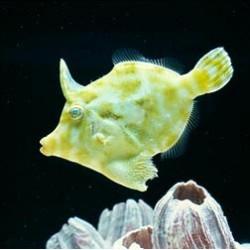 "Acreichthys tomentosus ""s/m"""
