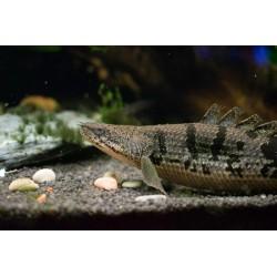 Listado de peces Raros, Prehistoricos y Miscelaneo